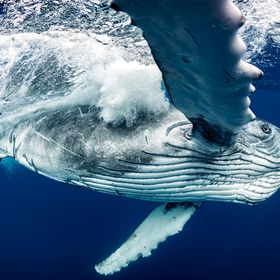 Just got back from a wonderful photo workshop in Tonga. My clients and I had an amazing 5 days in the water with these gentle giants. The encount...