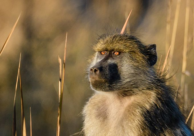 Baboon in Botswana by JoeS - Everything Bokeh Photo Contest