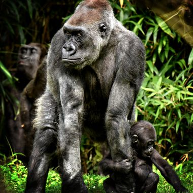 Mother & Baby Gorilla wary of the A male.