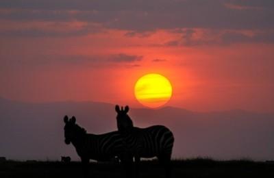 Sunset Zebra