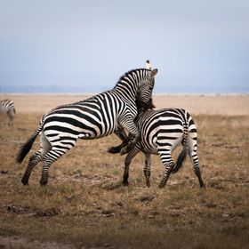 This was another great shot I got of breeding fights between two male zebra in Amboseli Park Kenya.