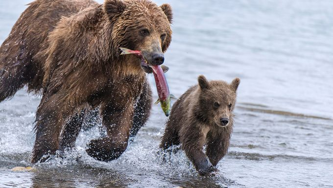 Kamchatka brown bears by oksanavashchuk - Food Chain Struggles Photo Contest
