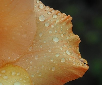 Gladoli flower rain drops.