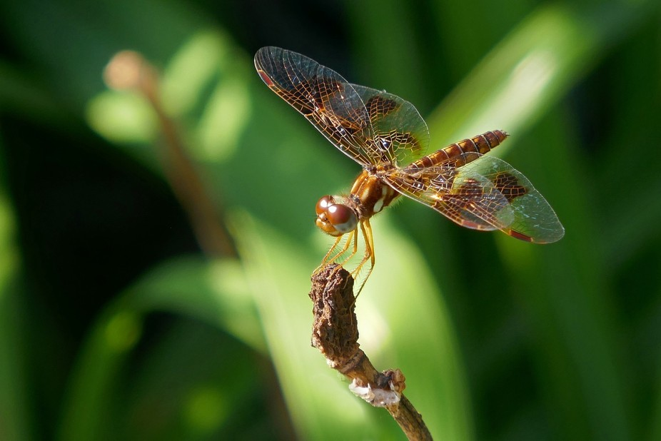 Dragonfly perched on a twig. Beautiful iridescent wings glisten in the light of late afternoon.