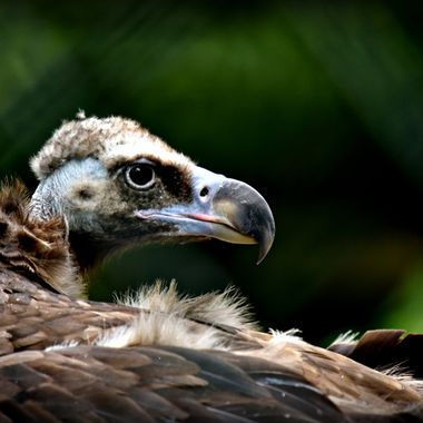 A Vulture at münster Zoo - 21st Aug 2017.