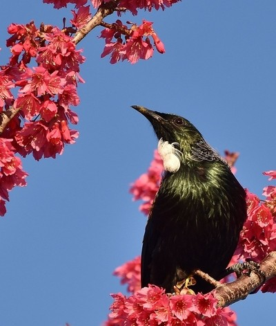 native Tui bird
