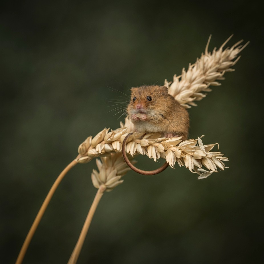 Harvest Mouse by fionaadamson - Macro And Patterns Photo Contest