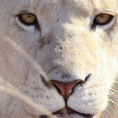 Simba the white lion taken from a zoo and placed in a breeding program on a game farm in the Eastern Cape.