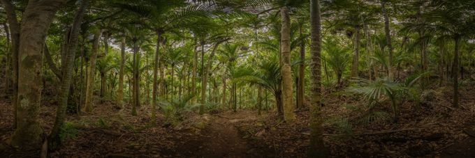 Nikau by chrispegman - Palm Trees Photo Contest