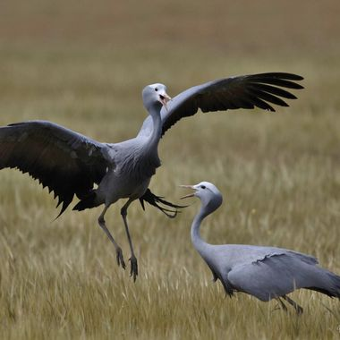 Pair of Blue Crane at Founders Lodge doing the mating dance.
