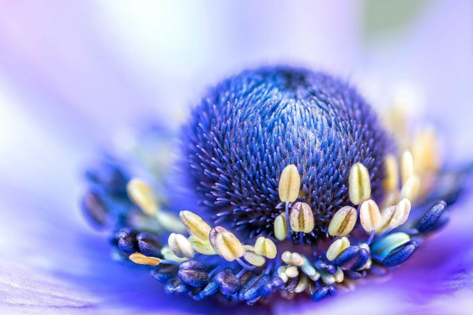 Anemone Stamens by ksean - Bright Colors In Nature Photo Contest