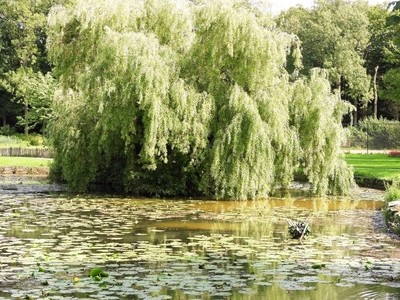 Weeping willow and waterlilys
