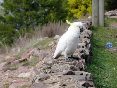 Yellow crested white cockatoo