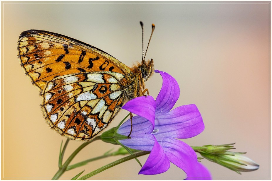 The small pearl-bordered fritillary (Boloria selene)