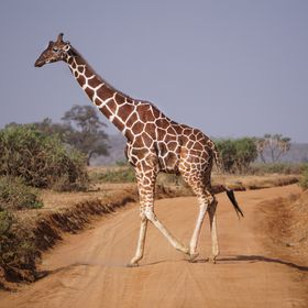 This shot was taken at the Samburu Nature Reserve, Kenya, Africa. Featuring a beautiful Giraffe crossing one of the dirt tracks of the reserve