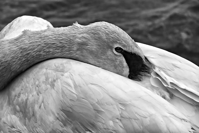 Resting Swan copy 2