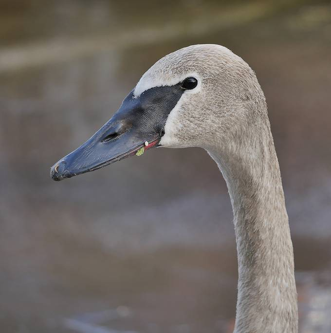 Trumpeter Swan copy