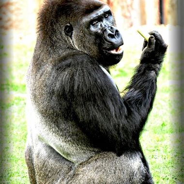 Alpha male gorilla consuming Leeks for dinner.