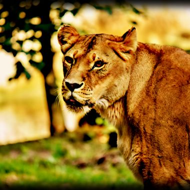 The Goddess Lioness in the open.