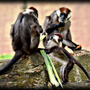 Baby monkey wanting more Leeks.