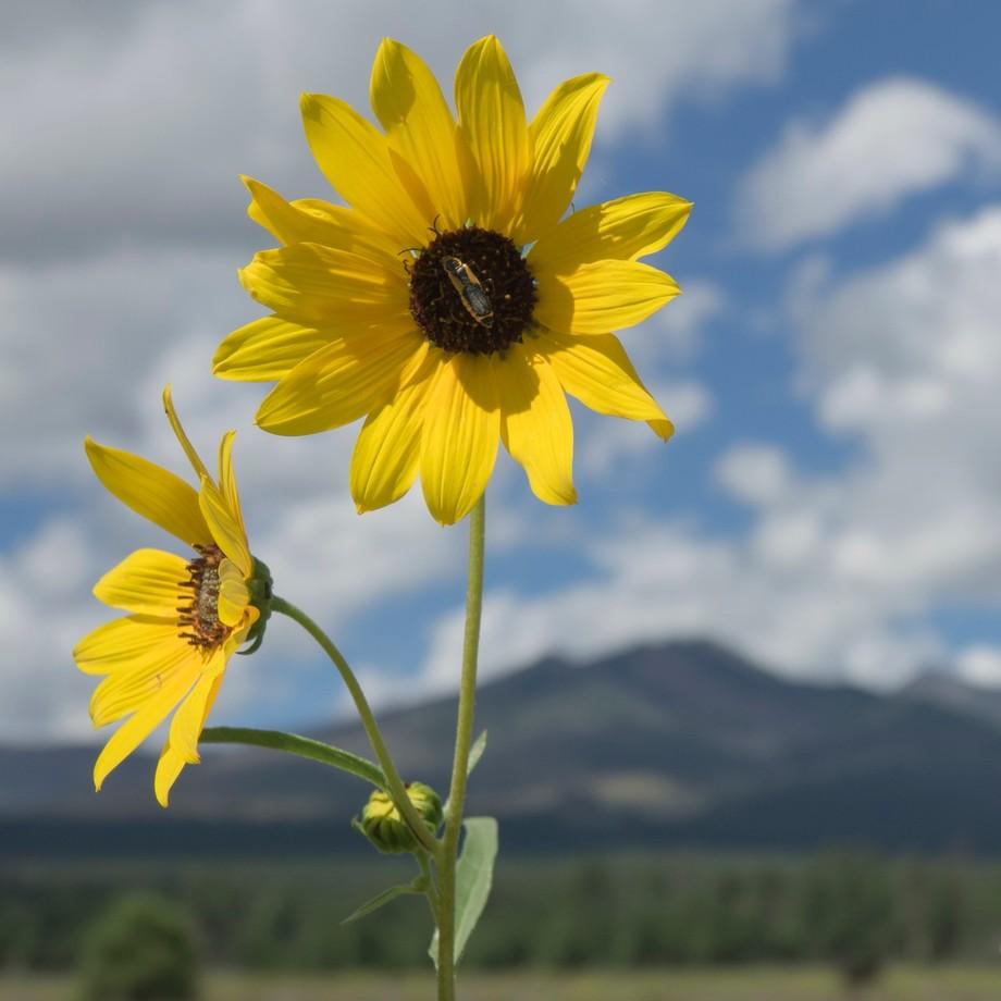 Wild common sunflower in the summer near Flagstaff, AZ