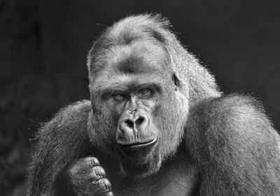 Lowland Gorilla 2017-06-03 (5D_32A8791)