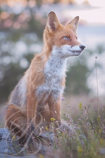 Fox companion