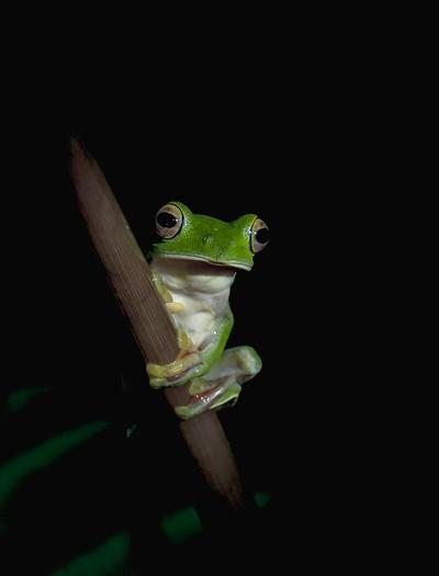 Malabar Gliding Frog (M)