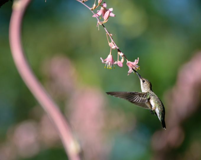 Midmorning snack by kathrynsklenakdannay - Just Hummingbirds Photo Contest