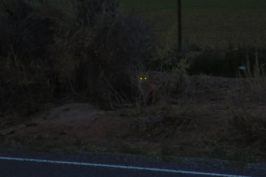 glowing eyes of a fox at dusk