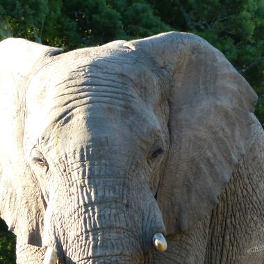 A very large bull elephant that walked passed me in my vehicle within touching distance