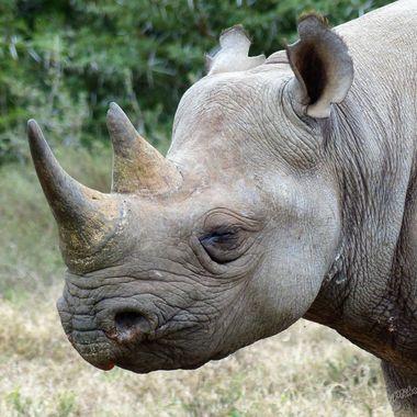 Black Rhino Siesta