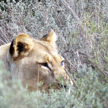 Blind Lioness