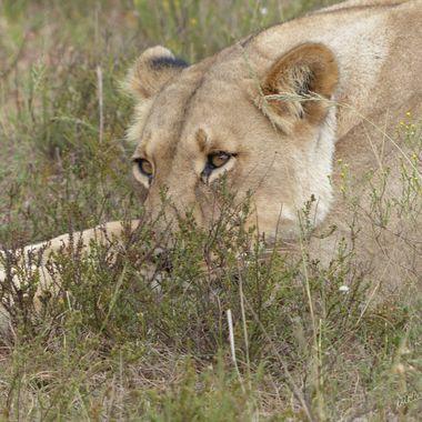 Sad Eyed Lioness