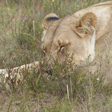 Lioness taking a nap