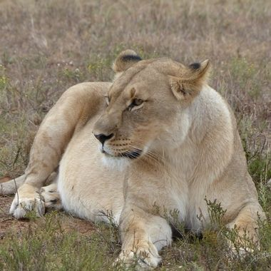 Agitated Lioness