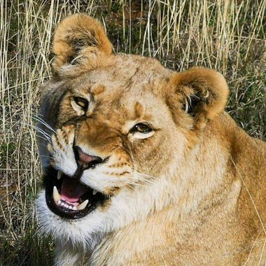 Young Lioness Grin