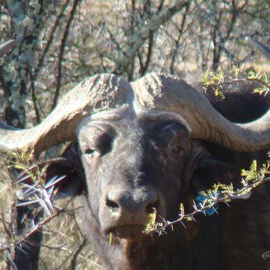 Rogue Buffalo Bull