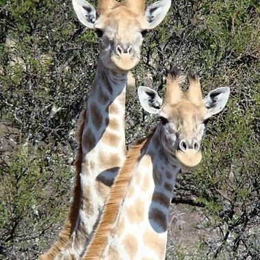 Giraffe scrutiny