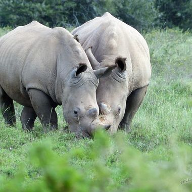 Black Rhino Mother & Daughter