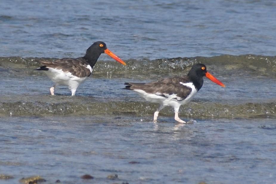 Oystercatchers, Sippiwisett Marsh