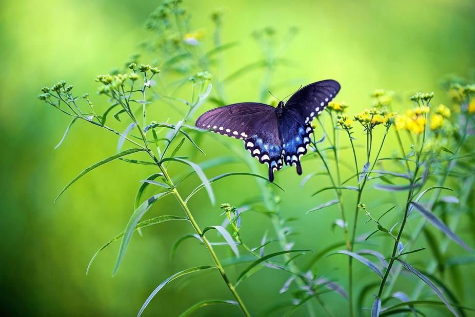 A beautiful butterfly roaming a field near Sunbury, PA
