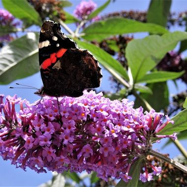 Lovely sunny day and loved seeing this butterfly fluttering around the buddleia Bush