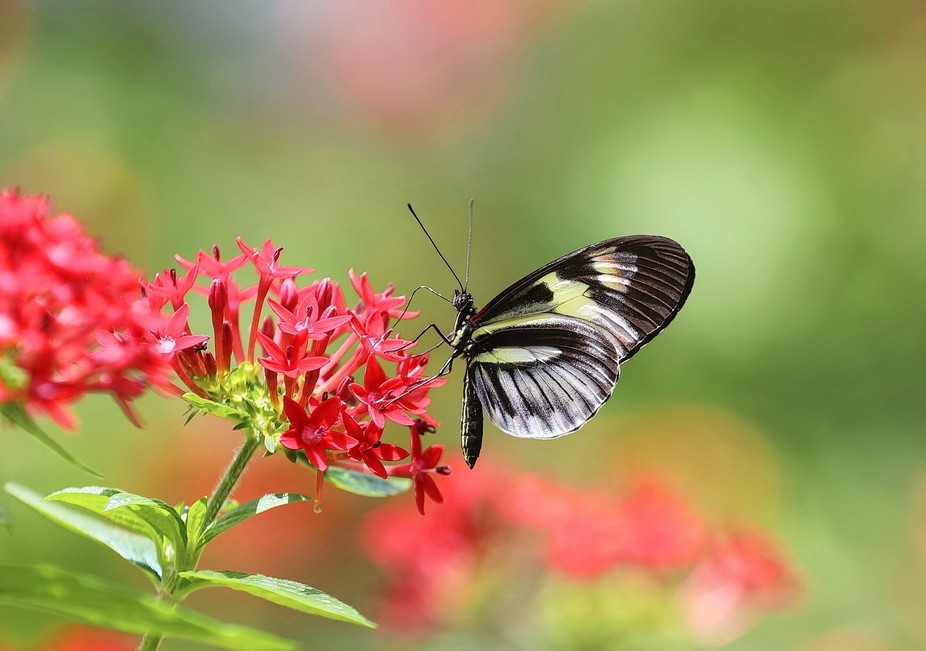 One of the countless butterflies that can be found at Butterfly World in Coconut Creek, Florida.