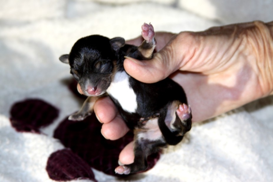Chihuahua just born. Black Brown and white belly. Only one in the litter.