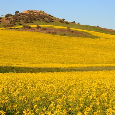 Canola in spring is a wonderful sight brilliant yellow flowers paddock after padock