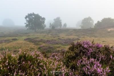 Foggy Heatherland