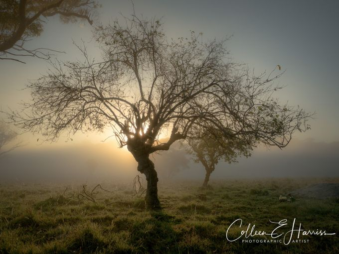 The old Mulberry tree by wombatgirl51 - Covers Photo Contest Vol 41