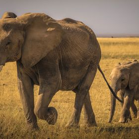 This beautiful photo I took in Amboseli Park, Kenya of to mother leading her two calfs through the grasslands. We had been out on a safari and th...