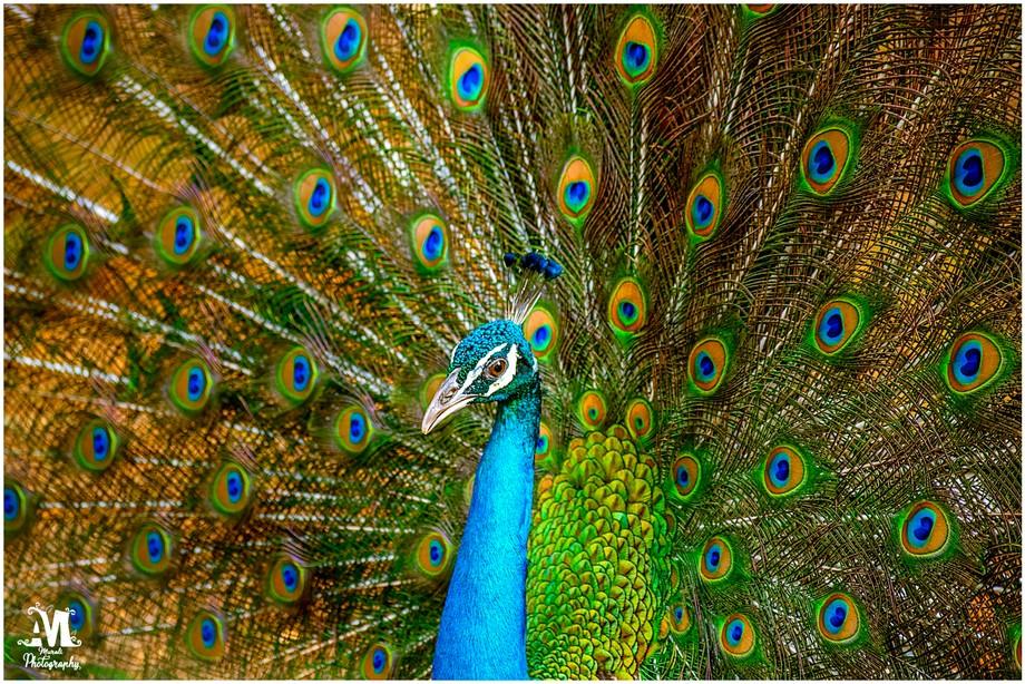#Bird #Nature #Wildlife #Peacock #Photography